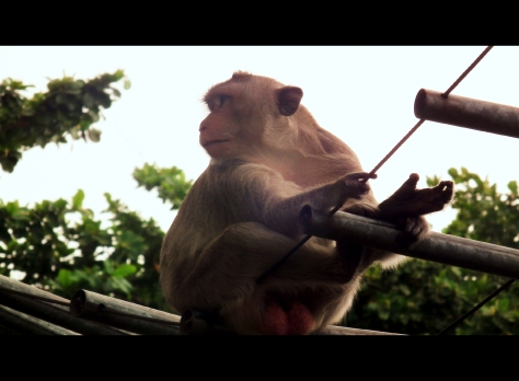 Monkey in LopBuri